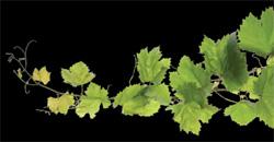 folha-uva(2)